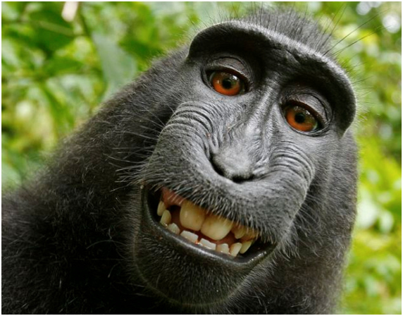 Im Jahre 2011 drückte ein Affe auf den Auslöser und amchte ein Selfi. Der Fotoapparat-Besitzer veröffentlichte es einfach. Könnte bald der Affe ihn verklagen?
